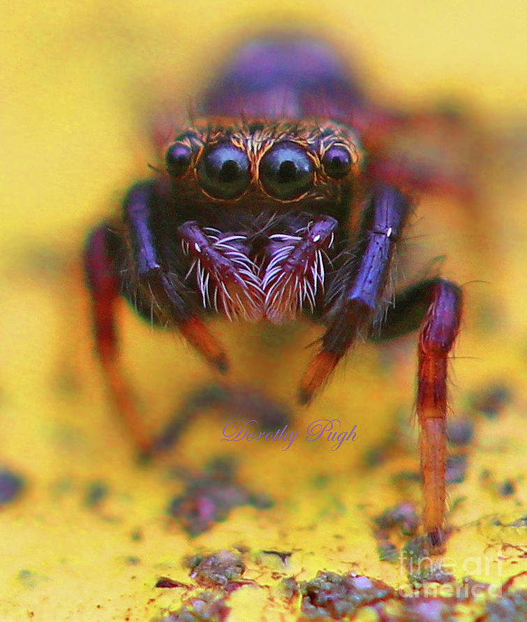 Spider Photograph - Young Jumping Spider by Dorothy Pugh