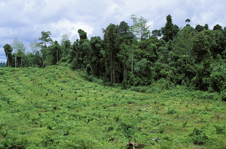 Young oil palm plantation (Elaeis) in front of rainforest, rainforest destruction, Sabah, Borneo, Southeast Asia Photograph by Konrad Wothe