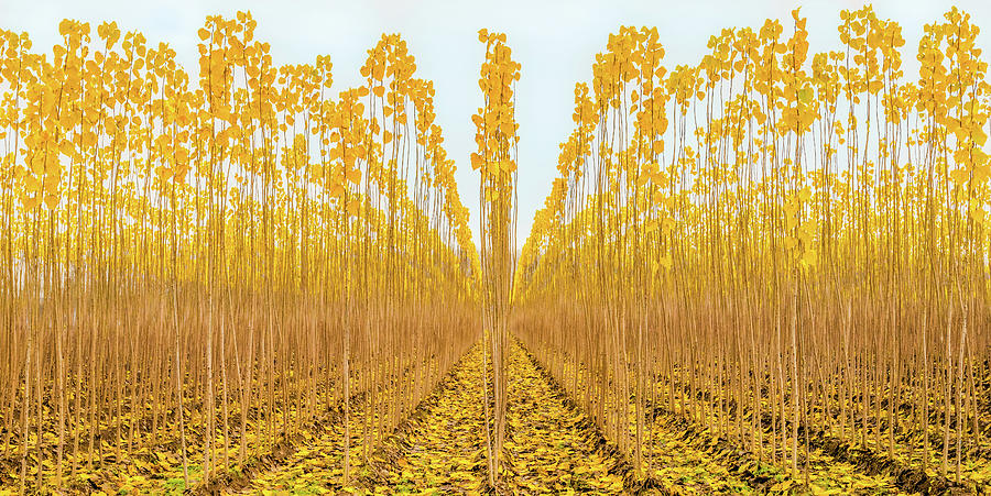 Young Poplar Trees Photograph