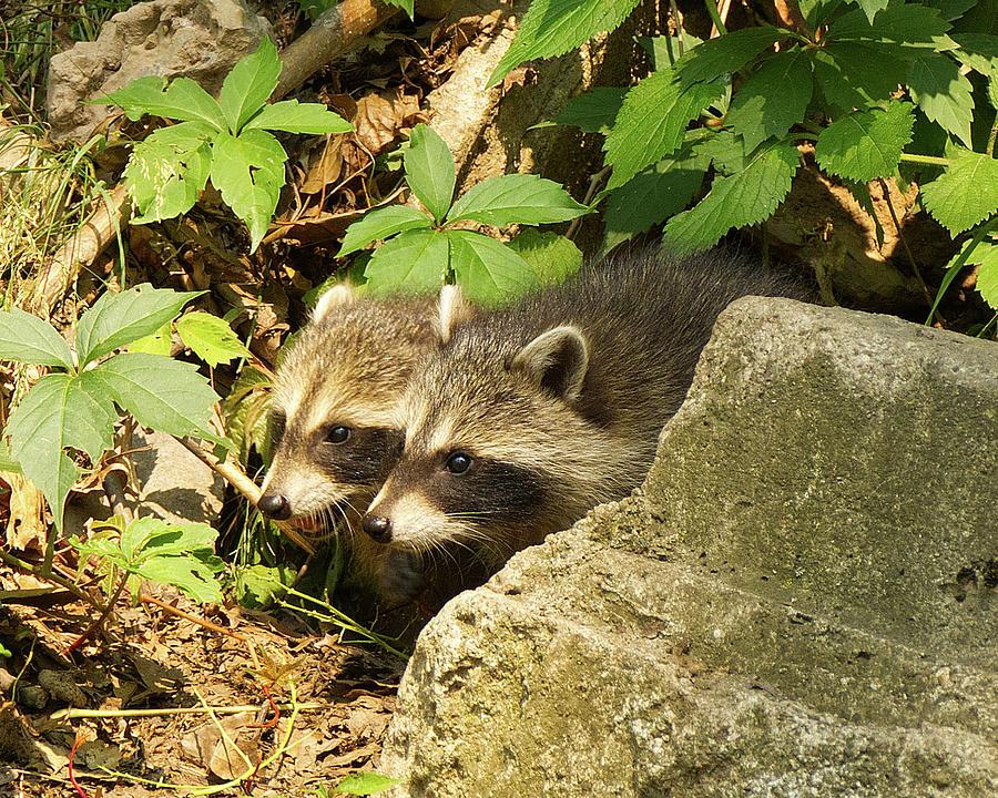 Young Raccoons Photograph