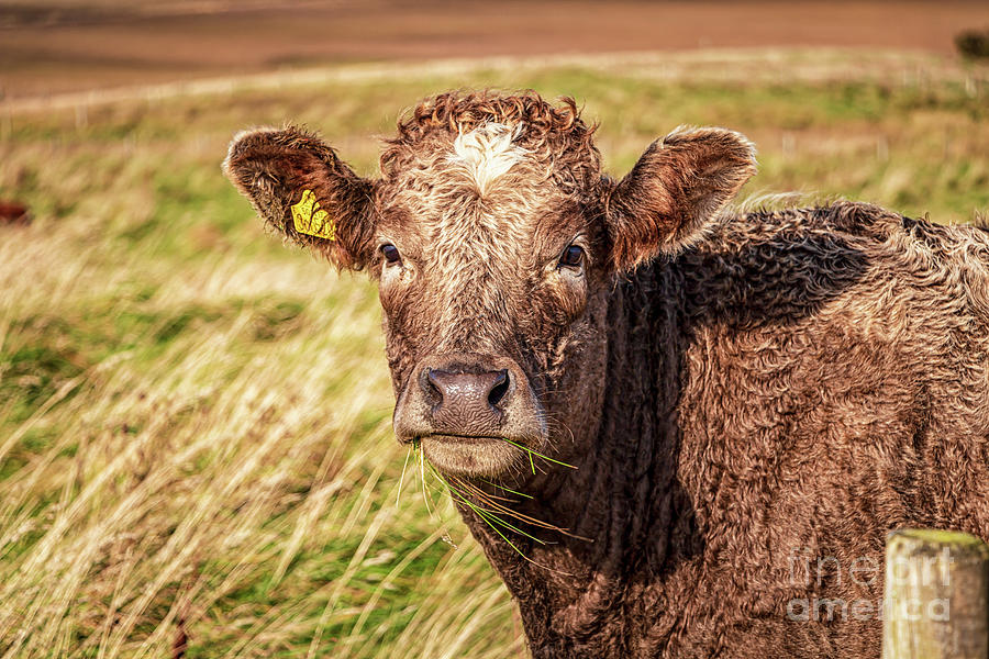 Young Scottish Calf Photograph