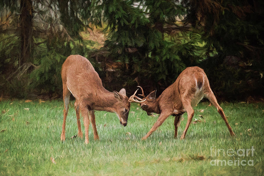 Young Stags Sparring by Sharon McConnell