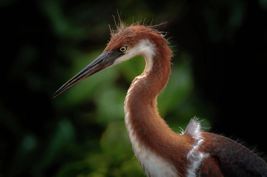 Young Tri Colored Heron Photograph