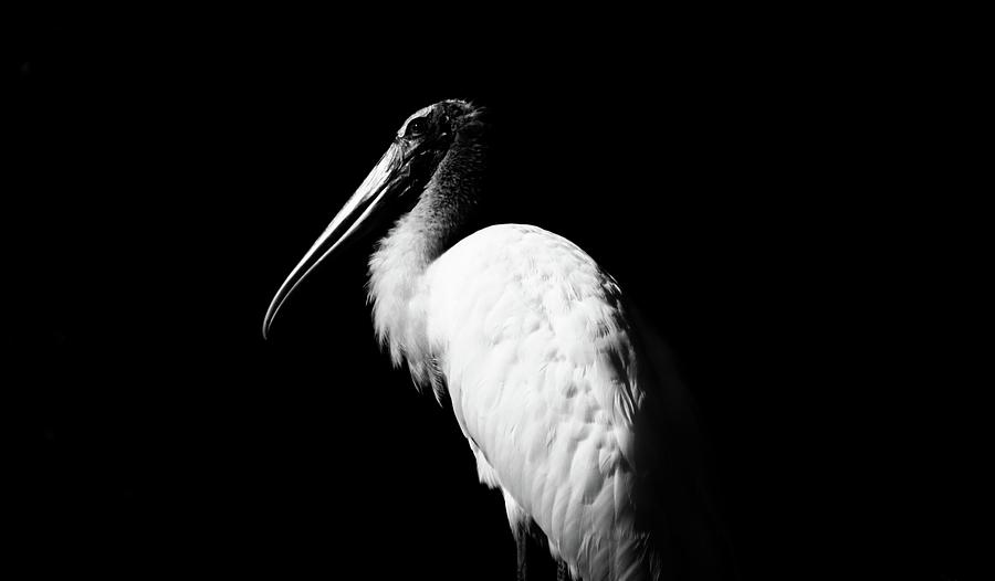 Young Wood Stork  Bw Photograph