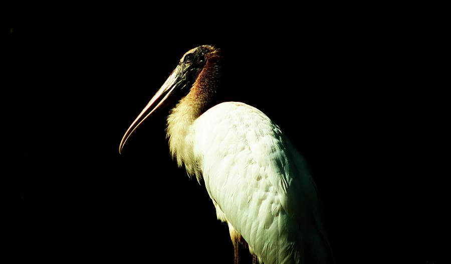Young Wood Stork Photograph