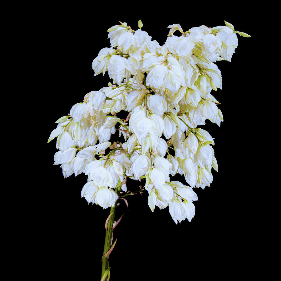 Yucca Blossoms On Black Photograph