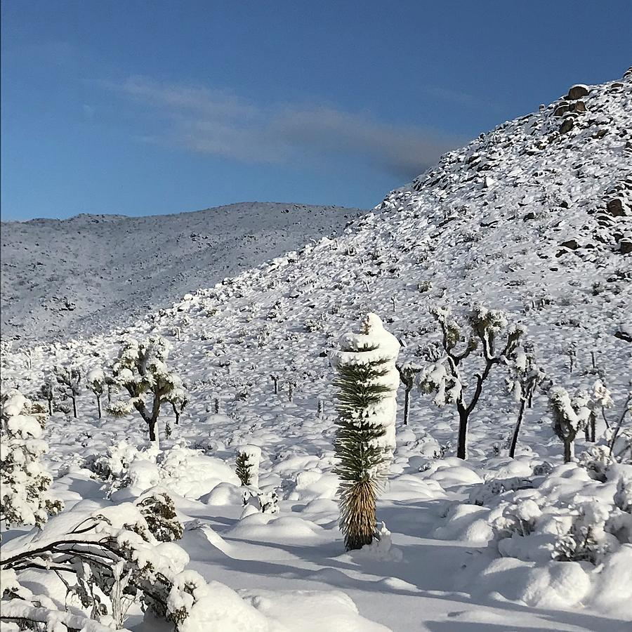 Yucca in the Snow by Perry Hoffman