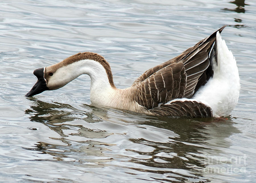 Z Posed African Goose Photograph