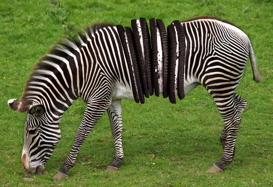 Zebra And Oreo Cookies Surreal Digital Art