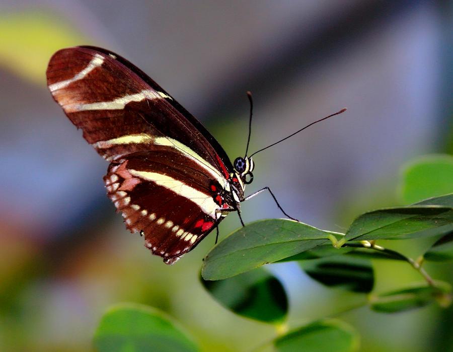 Zebra Longwing Photograph - Zebra Longwing Butterfly by Bonny Puckett