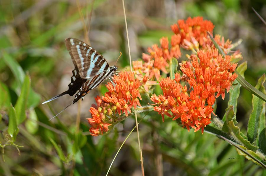 Zebra Swallowtail Butterfly On Butterfly Weed Photograph