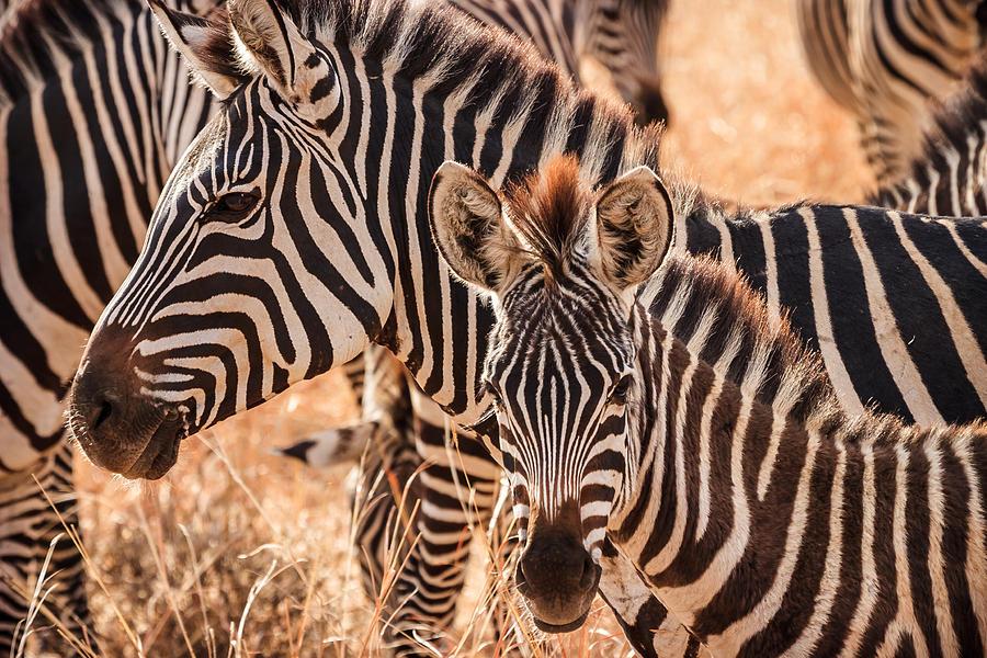 3scape Photograph - Zebras by Adam Romanowicz