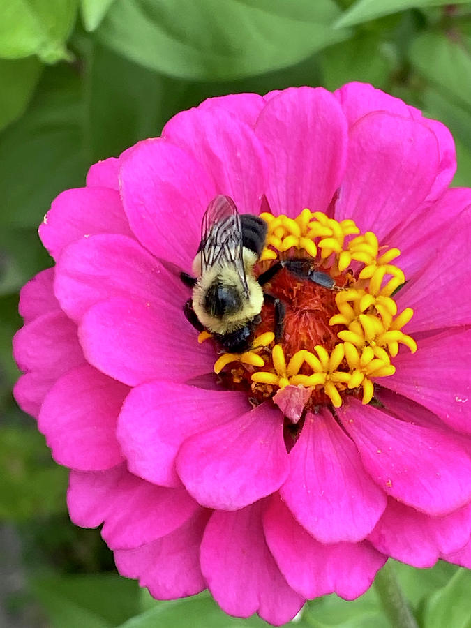 Zinnia And The Bee Pyrography