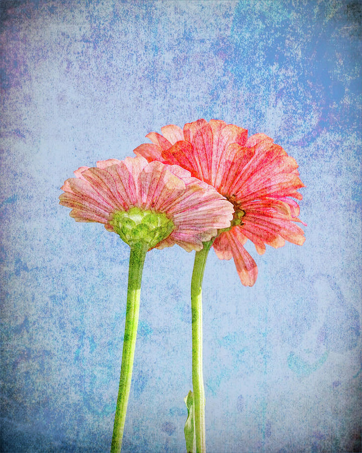 Zinnia In Pink And Blue Photograph