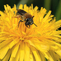 A Bee In A Dandelion by Jouko Lehto