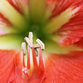 Amaryllis 2 by Evelyn Patrick