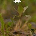 Arctic Starflower by Jouko Lehto