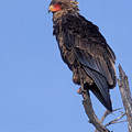 Bataleur Eagle Viewpoint by Sandra Bronstein