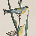 Blue Yellow-backed Warbler by John James Audubon