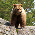 Brown Bear 4 by Jouko Lehto