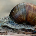 Burgundy Snail by Brothers Beerens