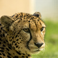 Cheetah by Paulo Goncalves
