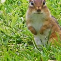 Chipmunck Standing     August Indiana by Rory Cubel