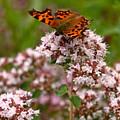 Comma Butterfly by Jouko Lehto