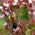 Cuckoo Bumblebee 2 by Jouko Lehto