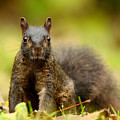 Curious Black Squirrel by Mircea Costina Photography