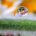Drop Of Rain On The Pod Lupine by Yuri Hope