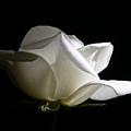 Evening Light White Rose Flower by Jennie Marie Schell