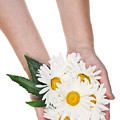 Giant Daisies For The Cosmetic  Industry by Aleksandr Volkov