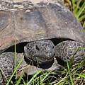 Gopher Tortoise Close Up by Deborah Good