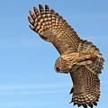 Great Gray Owl Plumage Patterns In-flight by Asbed Iskedjian