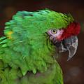 Great Green Macaw Ara Ambiguus by Mitch Spence