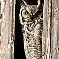 Great Horned Owl Perched In Barn Window by Mark Duffy