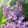 Lilacs On A Misty Morning by Amy Sorvillo