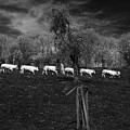 Line Of Cows by Brothers Beerens