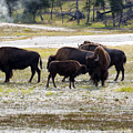North American Female Buffalo And Her Offspring Showing Affecti by Thomas Baker