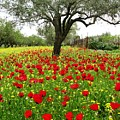 Olive Amongst Poppies by Andonis Katanos