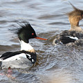 Red-breasted-merganser-ducks by Cynthia Kirby
