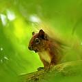 Red Squirrel  by Gavin Macrae