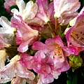 Rhododendron In Pink  by Kat J
