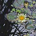 September White Water Lily by Janis Nussbaum Senungetuk
