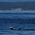 Southern Resident Orcas And Salmon Off The San Juan Islands Playing With Salmon by Mr Pat Hathaway Archives
