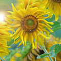 Sunflower by Lila Fisher-Wenzel