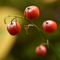 The Berries Of The Lily Of The Valley by Jouko Lehto