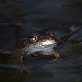 The Common Frog 1 by Jouko Lehto