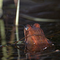 The Common Frog 2 by Jouko Lehto
